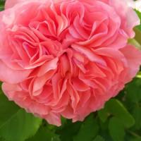 Летний проект «Мой цветущий сад», Центральная районная библиотека
